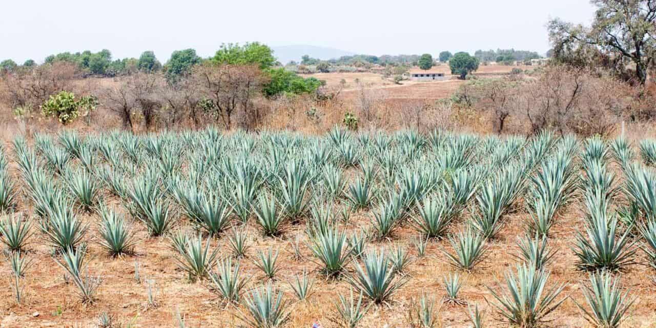 Tequila aus der Blauen Agave – Mexiko im Reich der Edelspirituosen