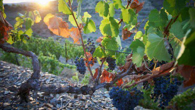 Rebsorten in Portugal – eine Schatztruhe
